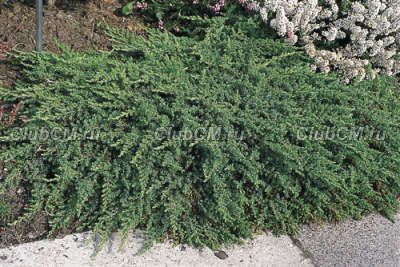 Juniperus communis Green Mantle ( к.2 л, 20-25 см)