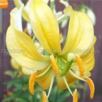 ЛИЛИЯ МАРТАГОН ( LILIUM MARTAGON ) YELLOW BUNTING