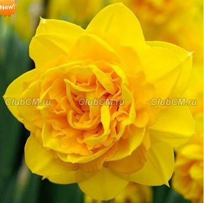 НАРЦИСС ( x NARCISSUS ) DOUBLE TETE-A-TETE