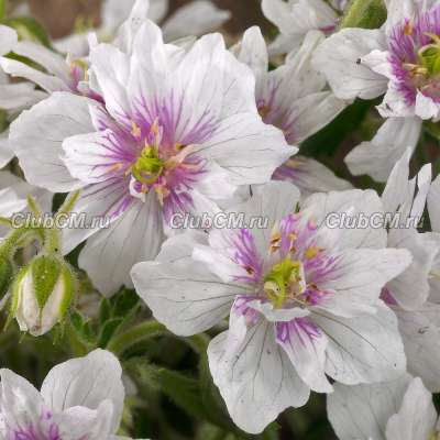 Герань луговая Дабл  Джэвел (Geranium meadow Double Jewel)