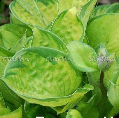 ХОСТА (HOSTA) RAINFOREST SUNRISE