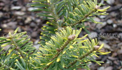 Abies koreana Houtmeyer (к. 2 л, 10-15 см)