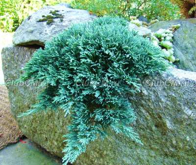 Juniperus horizontalis Ice Blue  (к. 2 литра 15-20 см)