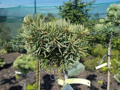 Abies concolor Kadan (шт. 15, 15-20 см.)