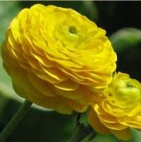 ЛЮТИК ЕДКИЙ ( RANUNCULUS ACRIS ) GOLD ROSE